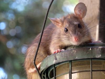 Control de ratas y ratones Valencia